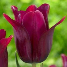 Tulip 'Merlot'
