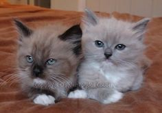 Mink ragdoll mitted kittens, sepia and blue. I want them both!