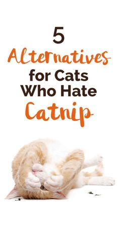 Don't worry if your cat isn't a fan of catnip - there are lots of alternatives for finicky felines who don't like this potent herb. Here are our top five favorite alternatives to catnip: