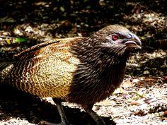 Pheasant Coucal - Nerang, Gold Coast Hinterland, Queensland, Australia Pheasant, Wild Birds, Gold Coast, The Locals, Wildlife, Queensland Australia, Xmas, Animals, Bird Species