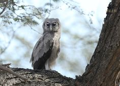 Owl, Africa, by Archna Singh Live App, Us Map, East Africa, Big Eyes, Great Photos, Owls, Insects, Art Gallery, Wildlife