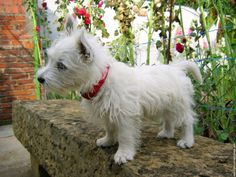 westie! Reminds me so much of my little guy when he was a puppy! Cutest dogs ever!