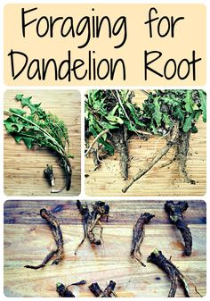 Foraging for Dandelion Root