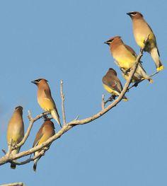 Cedar waxwings: very noble birdies. Cedar Waxwing, Bird, Animals, Image, Animales, Animaux, Birds, Animal, Animais