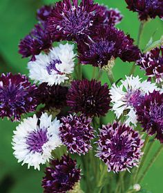 Cornflower, Burgundy Beauties Mix.An enchanting, melodious color medley of this cottage garden classic.