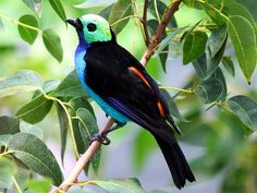 Paradise Tanager Tangara at the California Academy of Sciences. Pretty Birds, Beautiful Birds, Animals Beautiful, Exotic Birds, Colorful Birds, Science Sans, Peacock Coloring Pages, Amazon Birds, Amazon Rainforest