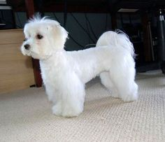 maltese dog hairstyles - Google Search