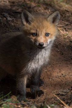 Red Fox Cub by Kate M. - National Geographic Your Shot
