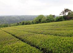 山添村 神野山 茶畑 : 魅せられて大和路