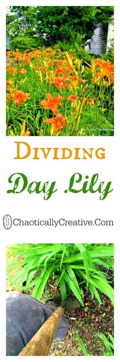Dividing Day Lily - Chaotically Creative