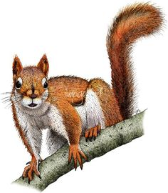 """Stunning """"Squirrel Art"""" Artwork For Sale on Fine Art Prints Squirrel Illustration, Tree Illustration, Pencil Illustration, Illustrations, Squirrel Tattoo, Squirrel Art, Cute Animal Drawings, Colorful Drawings, Bird Pictures"""
