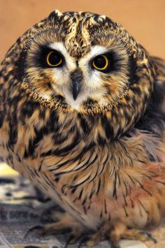 Short-Eared Owl (my favorite breed)