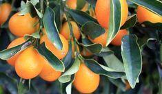 Nagami Kumquat (Fortunella margarita) Nagami KumquatOverview: If you like s Kumquat Tree, Citrus Trees, Fruit Trees, How To Grow Kumquat, Bay Laurel Tree, Fruit Bearing Trees, Laurus Nobilis, Plants