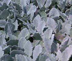 Dusty Miller New Look Series Dusty Miller, Wedding Flowers, Plant Leaves, Seeds, Plants, Plant, Planets, Bridal Flowers
