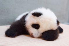 """October 19, 2013, released in Taipei zoo panda baby """"Yuan Zai"""" photos, alreday 80 day old giant panda """"Yuan Zai"""" is lying down to rest, Taiwan. / Photograph: Taipei City Zoo"""