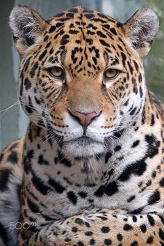 Jaguar by Edwin Butter - Photo 192758023 / Nature Animals, Animals And Pets, Baby Animals, Cute Animals, Beautiful Cats, Animals Beautiful, Animal Jaguar, Chat Lion, Majestic Animals