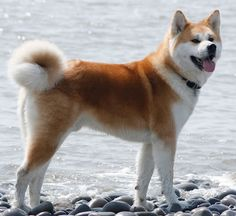 Few dog breeds can match the commanding presence of an Akita. Largest of Japanese dog breeds, the Akita's unique demeanor and impressive appearance have made it popular around the world. The Akita … Shiba Inu, Chien Akita Inu, Akita Dog, Akita Puppies, Dogs And Puppies, Buy Puppies, Dogs 101, Cute Dogs Breeds, Dog Breeds
