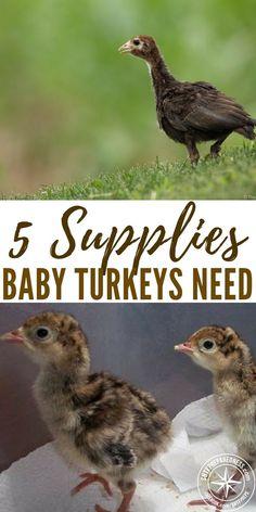 Supplies Baby Turkeys Need