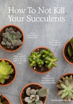 succulent garden care How to Not Kill Your Succulents. Step Fill your office with plants. Step Dont kill them. The succulents have really livened our office up (literally. Types Of Succulents, Growing Succulents, Cacti And Succulents, Planting Succulents, Planting Flowers, Succulents Care Indoor, Watering Succulents, Taking Care Of Succulents, Flowering Succulents