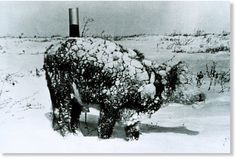 A snow-covered steer in South Dakota after a blizzard in 1966. NOAA
