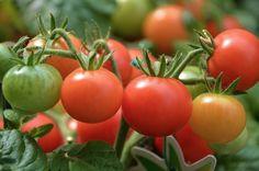 A Te kertedben is lehet vetésforgó! Tomato Seedlings, Tomato Plants, Tomato Garden, Vegetable Garden, Tips For Growing Tomatoes, Fertilizer For Plants, Soil Layers, Canning Tomatoes, Grow Organic