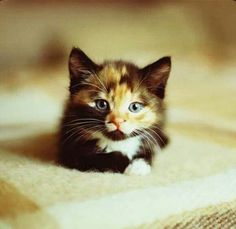 #calico #kittens #cats