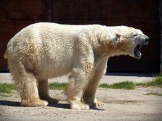 Waarom de Amerikaanse opiniepeilers slechter voorspelden dan ijsbeer Felix
