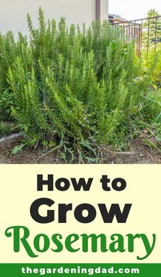 How to Grow Rosemary from Seed in 5 EASY Steps – The Gardening Dad Are you interested in learning how to grow rosemary? If so, this article will provide you with 5 EASY steps for growing rosemary from seed, in pots, in raised garden beds, and in a garden! Rosemary Garden, Rosemary Plant, How To Grow Rosemary, How To Grow Herbs, Herbs Garden, Garden Trellis, Herb Garden Design, Garden Art, Edible Garden