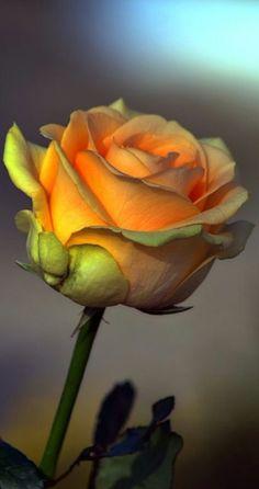 Yellow Green Rose