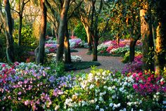 Next big garden project: plant lots of azaleas under the pine trees