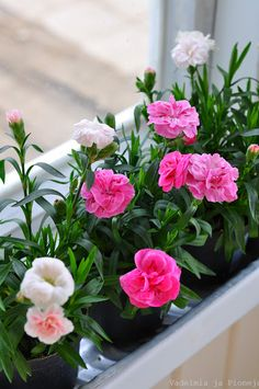 Spring flowers, Vadelmia ja Pioneja