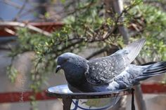 This image is included in my blog post @ http://www.thelastleafgardener.com/2017/04/another-tuesdays-truth-for-week-thirty.html #pigeons #birds #urban gardens #rooftop garden #NYC