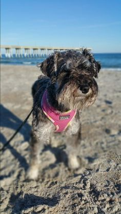 All about our Miniature Schnauzer...looking for her boyfriend on the beach....# looking hot....