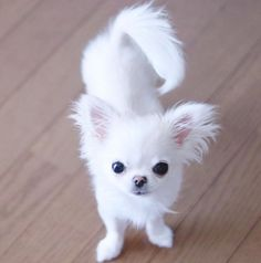 Chihuahua dogs are part of the toy dog breed, bringing a lot of energy in a tiny package. Find out more about the Chiwawa dog here. White Chihuahua, Chihuahua Puppies, Baby Puppies, Cute Puppies, Beagle Puppy, Pomeranian Puppy, Husky Puppy, Kittens And Puppies, Cute Cats And Dogs
