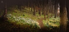 Woodland in Bloom - A focus stacked, stitched, panoramic landscape image of snowdrops and daffodils blooming in a woodland in Perthshire, Scotland.  I'm still not sure what I think of this image but have decided to upload it anyway for people to cast their critical eyes over. There are a couple of small mistakes in the stack but it is okay for the most part. The light was very flat so I wish I had done a bracket exposure too in order to expose it better. However, at 58MB already, the…