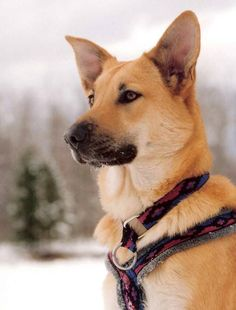 The Chinook was bred as a sled dog for drafting and sled dog racing in New Hampshire! It's a real American working dog! Learn more about this Made in the USA pup here.