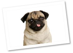 The Pug is a small dog with a big personality. This bold dog loves to entertain and play. They can adapt to both lazy and active lifestyles and make great pets for families. They tend to snore.