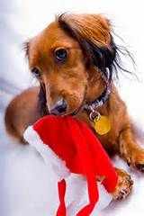 dachshunds christmas - Yahoo Image Search Results