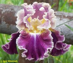 "'Montmartre' ( Keith Keppel, R. 2007). Seedling 01-49B. TB, 33"" (84 cm), Early thru mid bloom season. Standards greyed red-purple (M&P 45-J-5), 1/4"" straw yellow (10-F-2) edge; style arms straw to reed yellow (10-I-1), midrib flushed red purple; falls velvety dark red purple, darker and brighter than raisin purple (54-B-12), narrow oyster white (10-B-1) edge, inner haft lemon (9-L-2), white around beard; beards chrome yellow (9-L-7), white and lemon at end. 99-61A: (96-11D, sibling to…"