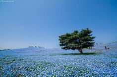 Blossoming Blue Flowers Field at Japan's Hitachi Seaside Park Beautiful Places In Japan, Beautiful Park, Amazing Places, Champs, Travel Around The World, Around The Worlds, Hitachi Seaside Park, Japanese Landscape, Visit Japan