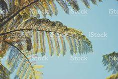 New Zealand Native Cyathea Dealbata (Ponga) royalty-free stock photo Maori Words, You Are Home, Kiwiana, Commercial Art, Image Now, Looking Up, New Zealand, Nativity, Royalty Free Stock Photos