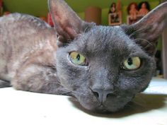 I think he's giving me a dirty look! Devon Rex Cats, Black Smoke, Give It To Me, Cool Stuff, Animaux