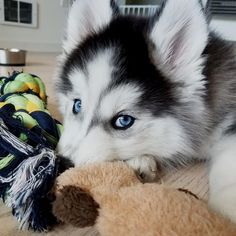 My puppy eyes used to be more effective.   : @lemonsareemo Credit to : @ozthehusky DoubleTap & Tag a Friend Below⤵ Follow us if you love Siberian Husky   ❣  Update videos everyday ❤ #siberianhusky