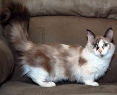 Conheça a raça de gato que nunca cresce - munchkin