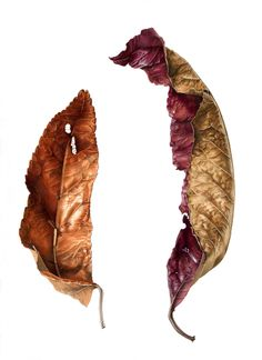 Quondong Leaves by Anne Hayes, via Behance.