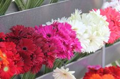 Gerberas skylineflowers