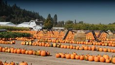 These 13 Charming Pumpkin Patches In Washington Are Picture Perfect For A Fall Day