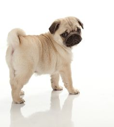 """Receive fantastic ideas on """"fawn pugs"""". They are actually on call for you on our site. Pug Puppies For Sale, Cute Pug Puppies, Black Pug Puppies, Cute Pugs, Cutest Dogs, Pug Breed, Pug Shirt, Buy A Dog, Pug Pictures"""
