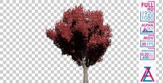 Bradtord Callery Pear Tree
