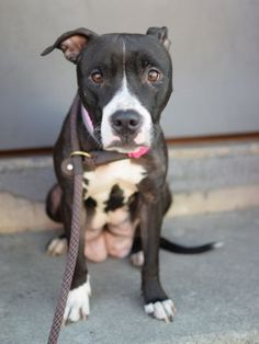 RETURNED 6/16/2015 --- SAFE 5-17-2015 --- Brooklyn Center TULIP – A1035859 FEMALE, BLACK / WHITE, AM PIT BULL TER MIX, 1 yr, 6 mos STRAY – STRAY WAIT, NO HOLD Reason STRAY Intake condition UNSPECIFIE Intake Date 05/10/2015 http://nycdogs.urgentpodr.org/tulip-a1035859/